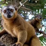 Madagascar : Canal des Pangalanes Manakara, lémurien
