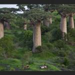 Madagascar : Forêt d'Ampanonga, Boabab