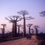 Madagascar, allée des Baobabs, Morondava